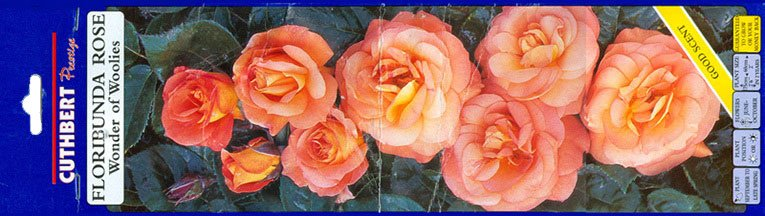 The Floribunda Rose - 'the Wonder of Woolworth' with delicate orange petals and a good scent, as sold in the High Street stores from 1995 to 2005